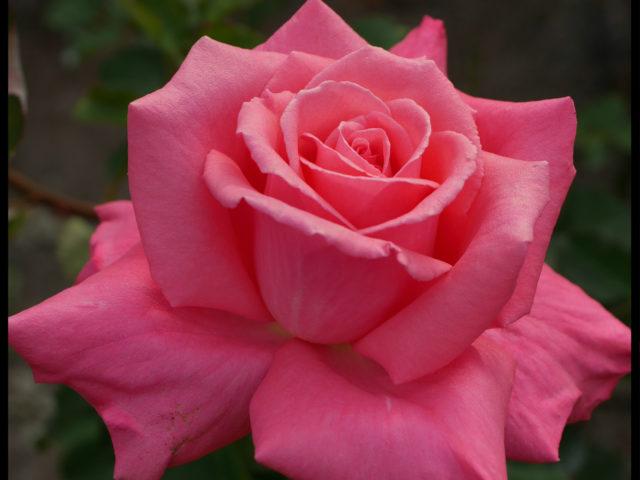 深いピンク色のバラ「芳純」の9分咲きの美しい花姿。