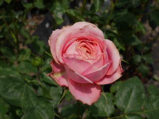 バラ「ロマンティック・アンティーク」の開花姿を一輪写した写真。カップ咲きの花姿。