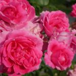 濃いローズ色のカップ咲きのつるバラ「パレード」の満開の花姿が画面いっぱいに写った美麗写真。花田昇崇が撮影。