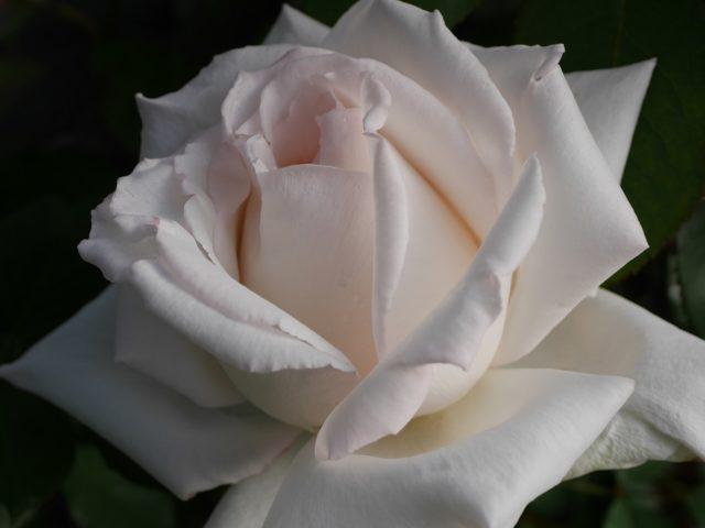 大輪系白バラ「エレーヌ・ジュグラリス」の極めて美しい8分咲きの花姿。花田昇崇が撮影。