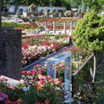 荒牧バラ公園(兵庫県伊丹市)の園内を撮影。バラの最盛期のバラが咲き誇る様子。ローズフェスタ(花田昇崇)が撮影。