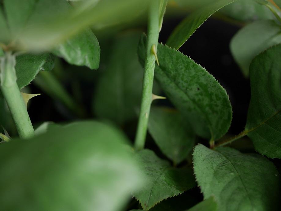バラ「パパ・メイアン」の若い枝のとげを撮影した写真。