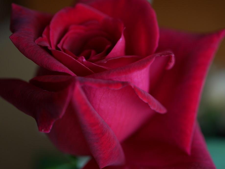 黒バラ「パパ・メイアン」の開花写真。黒味を帯びた繊維までよくわかる高画質写真。