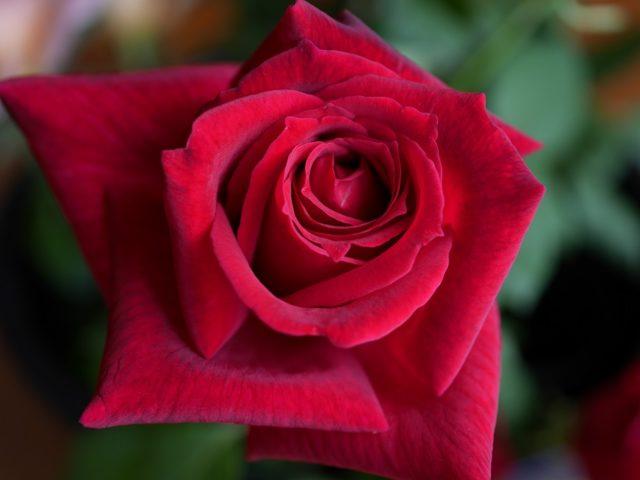 黒バラ「パパ・メイアン」の8分咲きの花姿。特徴的な黒味がよくわかる高画質写真。花田昇崇が撮影。