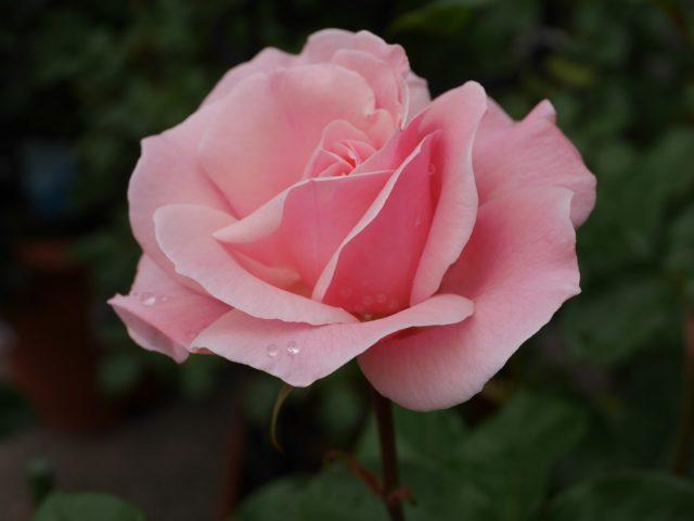 バラの品種「クィーン・エリザベス」が画面中央に1輪映っている。桃色一色に染まった花びらが整った花姿で写されている美麗な写真。花田昇崇が撮影。